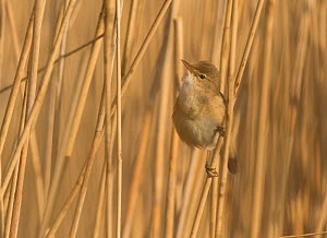 Reed warbler (Acrocephalus scirpaceus) among reed bed, South Yorkshire, England, UK, April. - Paul Hobson