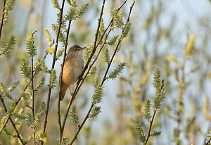 Reed warbler (Acrocephalus scirpaceus) among reed bed. South Yorkshire, England, UK, April. - Paul Hobson