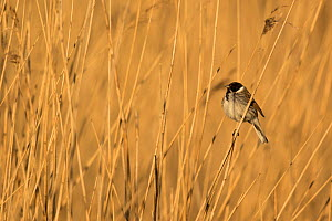 Reed bunting (Emberiza schoeniclus) male, perched in reeds, Derbyshire, England, UK. April.  -  Paul Hobson