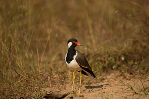 Red-wattled lapwings (Vanellus indicus) Bandhavgarh, India.  -  Paul Hobson