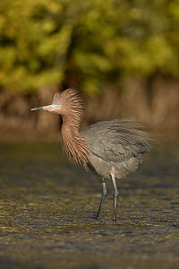 Reddish egret (Egretta rufescens) with feathers blown in wind, Florida, USA, February.  -  Paul Hobson