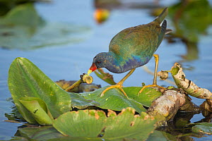 Purple Gallinule (Porphyrio martinicus) on lilypad, Florida, USA, February.  -  Paul Hobson