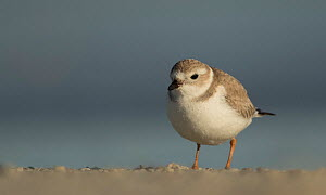 Piping plover (Charadrius melodus) winter plumage, Florida, USA, February.  -  Paul Hobson
