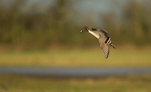 Pintail flight (Anas acuta) male, Gloucestershire, England, UK. March..  -  Paul Hobson