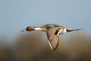 Pintail flight (Anas acuta) male, Gloucestershire, England, UK, March.  -  Paul Hobson