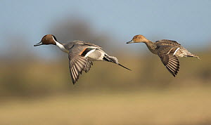 Pintail (Anas acuta) male and females in fly, Gloucestershire, England, UK, March.  -  Paul Hobson
