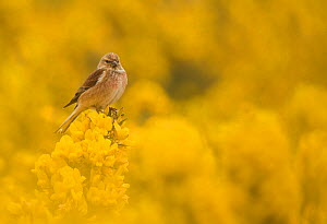 Linnet (Carduelis cannabina) male in yellow flowered gorse, Sheffield, England, UK, April. - Paul Hobson