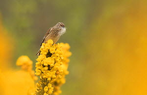 Linnet (Carduelis cannabina) female with nesting fluff, material, Sheffield, England, UK, April. - Paul Hobson