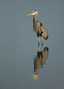 Great blue heron (Ardea herodias) standing in water with reflection, Florida, USA, February.  -  Paul Hobson