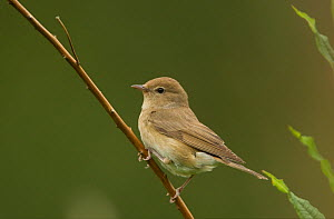 Garden warbler (Sylvia borin) adult on thin branch, Sheffield, England, UK.  -  Paul Hobson