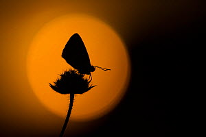 Chalkhill blue adult (Lysandra coridon) silhouetted at dusk against red sky, Cambridgeshire, England, UK, August. - Paul Hobson