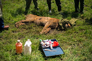 Young male African lion (Panthera leo) 'Alan' from Marsh pride, with head wrapped in jacket whilst KWS  (Kenya Wildlife Service) vet triesto save him from poisoning. He had been poisoned after eating...  -  NPL
