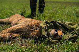 Young male African lion (Panthera leo) 'Alan' from the Marsh pride, with head wrapped in jacket whilst KWS  (Kenya Wildlife Service) vet tries to save him from poisoning after eating carcass poisoned...  -  NPL