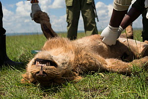 KWS  (Kenya Wildlife Service) vet trying to save young male African lion (Panthera leo) 'Alan'  from the Marsh pride,  poisoned after eating carcass poisoned by local cattle herders, and subsequently...  -  NPL