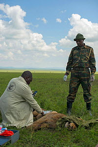 KWS  (Kenya Wildlife Service) vet trying to save young male African lion (Panthera leo) 'Alan', which had been poisoned after eating carcass poisoned by local cattle herders, and subsequently attacked...  -  NPL