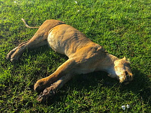 African lioness (Panthera leo) Bibi the oldest lion from the Marsh Pride, found dead from poisoning after eating carcass poisoned by local cattle herders, Masai Mara Game Reserve, Kenya. 7th December....  -  NPL