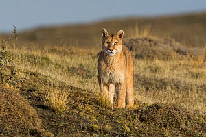 Puma (Puma concolor) in high altitude habitat, Torres del Paine National Park, Chile.  -  Gabriel Rojo