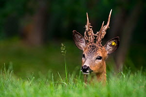 Roe deer (Capreolus capreolus) male with antlers shedding their velvet, and ear tag, Gran Paradiso National Park, Italy, June.  -  Philippe Clement