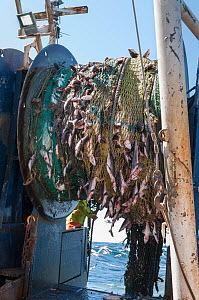 Hauling in dragger net filled with Haddock (Melanogrammus aeglefinus), Pollock (Pollachius), Dogfish (Squalidae) and Lobster (Nephropidae) Georges Bank off Massachusetts, New England, USA, May 2015. M...  -  Jeff Rotman