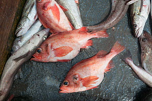Redfish (Sebastes) on deck of offshore dragger.  Georges Bank, Massachusetts, New England, USA, May.  -  Jeff Rotman