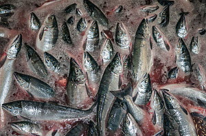 Sockeye salmon (Oncorhynchus nerka) loaded directly from tender into factory for processing. This load of fish is in water mixed with blood. Naknek, Bristol Bay, Alaska, USA, July 2015.  -  Jeff Rotman