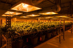 Cannabis plants growing under artificial light,  in organic Marijuana farm, Pueblo, Colorado, USA, June 2015. . Marijuana has been legalized in the state of Colorado, and this farm produces Marijuana... - Jeff Rotman