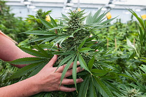 Person holding large Cannabis bud, in organic Marijuana farm, Pueblo, Colorado, USA, June 2015. . Marijuana has legalized in the state of Colorado, and this farm produces Marijuana for medical and ret...  -  Jeff Rotman