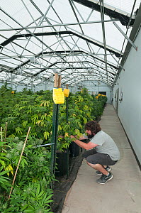 Man tending Cannabis plants in organic Marijuana farm, Pueblo, Colorado, USA, June 2015. Marijuana has legalized in the state of Colorado, and this farm produces Marijuana for medical and retail purpo... - Jeff Rotman