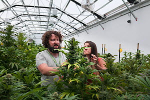 Man and woman with Cannabis plant in organic Marijuana farm, Pueblo, Colorado, USA, June 2015. . Marijuana has legalized in the state of Colorado, and this farm produces Marijuana for medical and reta...  -  Jeff Rotman