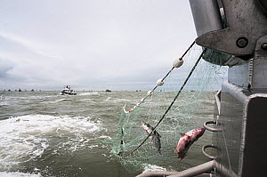 Sockeye salmon (Oncorhynchus nerka) hauled into boat from net, Bristol Bay, Alaska, USA, July 2015  -  Jeff Rotman