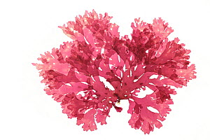 Red algae (Callophyllis laciniata) from  Ireland, Atlantic. Preserved specimen.  -  Solvin Zankl