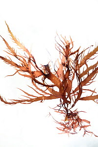 Red algae (Chylocladia verticillata) from Roscoff, France, April.   Preserved specimen.  -  Solvin Zankl