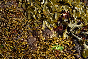 Intertidal rocks covered in seaweeds, including, brown algae: at top Toothed wrack (Fucus serratus) and on the left Bifurcaria bifurcata. Red algae: middle and bottom right Pepper dulse (Osmundea pinn... - Solvin Zankl