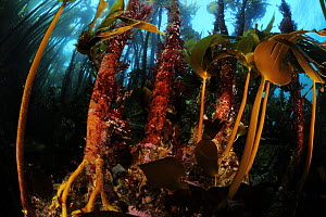 Kelp forest mostly Laminaria hyperborea, but the smaller brown algae on the right is Oarweed (Laminaria digitata), Atlantic Ocean, Stromsholmen, North West Norway, March.  -  Solvin Zankl