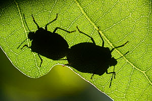 Green shield bug (Palomena prasina) pair mating, silhouetted against leaf. Elbtalaue, Lower Saxony, Germany. June. - Solvin Zankl
