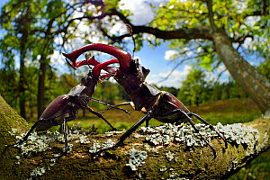 Stag beetle (Lucanus cervus) males fighting on oak tree branch, Elbe, Germany, June. Highly commended in the GDT European Wildlife Photographer of the Year 2018. - Solvin Zankl