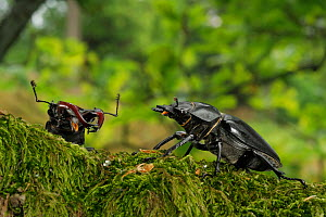 Stag beetle (Lucanus cervus) male and female during courtship. Niedersechsische Elbtalaue Biosphere Reserve, Elbe Valley, Lower Saxony, Germany - Solvin Zankl