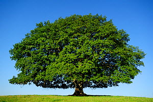 English oak tree (Quercus robur) Nauroth, Germany, September. - Solvin Zankl