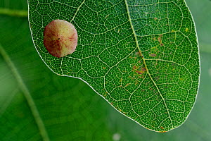 Common spangle gall (Neuroterus quercusbaccarum) on oak tree leaf. Niedersechsische Elbtalaue Biosphere Reserve, Elbe Valley, Lower Saxony, Germany, August. - Solvin Zankl