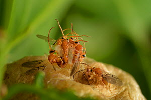 Gall wasps (Biorhiza pallida) mating as they emerge from the oak tree gall. Elbe, Germany, June.  -  Solvin Zankl