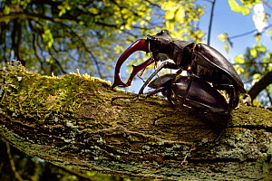 Stag beetles (Lucanus cervus) pair mating on oak tree tree, Elbe, Germany, June. - Solvin Zankl