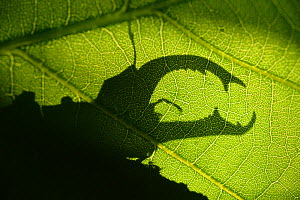 Stag beetle (Lucanus cervus) silhouetted against oak tree leaf. Elbe, Germany, June. - Solvin Zankl