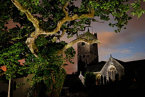 Meavy Oak, an 800 year old oak, with the Norman church of St Peter Church behind, Meavy, Devon, Southern Dartmoor, England, UK, July 2013. - Solvin Zankl