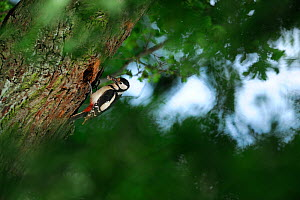 Greater spotted woodpecker (Dendrocopos major) at nest hole in oak tree. Niedersechsische Elbtalaue Biosphere Reserve, Elbe Valley, Lower Saxony, Germany - Solvin Zankl