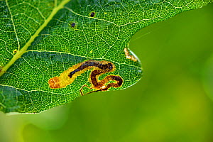 Leaf miner moth larvae  (Stigmella sp) mine on oak tree leaf. Niedersechsische Elbtalaue Biosphere Reserve, Elbe Valley, Lower Saxony, Germany, September. - Solvin Zankl