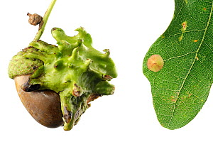 Knopper gall  (Andricus quercuscalicis) on oak tree acorn, and Common spangle gall (Neuroterus quercusbaccarum) on oak tree leaf. Bavaria, Germany  -  Solvin Zankl