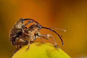 Acorn weevils (Curculio glandium) mating on oak tree  acorn,  Lower Saxonian Elbe Valley Reserve, Germany, September.  -  Solvin Zankl