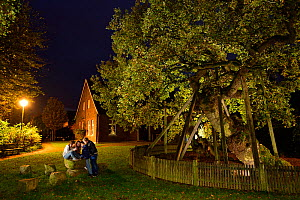 'Femeiche' the Court Tree at night, an ancient English oak (Quercus robur) used in the Middle ages as Vehmic or secret court in which  serious criminals were judged and executed. Erle, Germany, Octobe...  -  Solvin Zankl