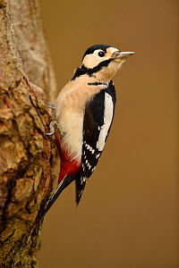 Great spotted woodpecker (Dendrocopos major) Niedersechsische Elbtalaue Biosphere Reserve, Elbe Valley, Lower Saxony, Germany, November. - Solvin Zankl