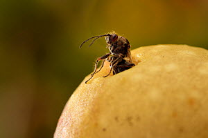 Gall wasp (Cynips quercusfolii) emerging from gall in oak. Germany. October. - Solvin Zankl